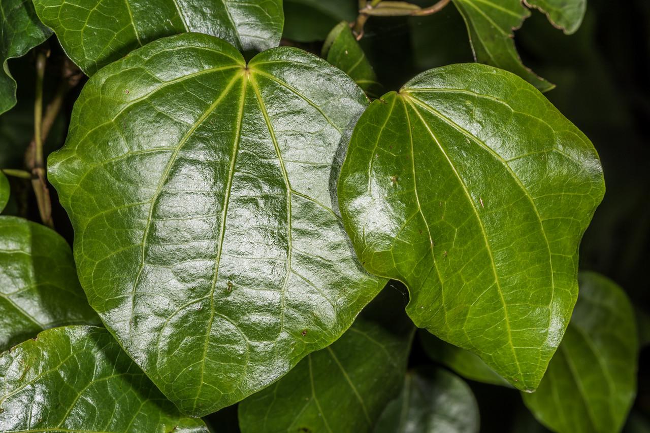 Pepper tree / kawakawa (Piper excelsum). Dunedin Botanic Garden.