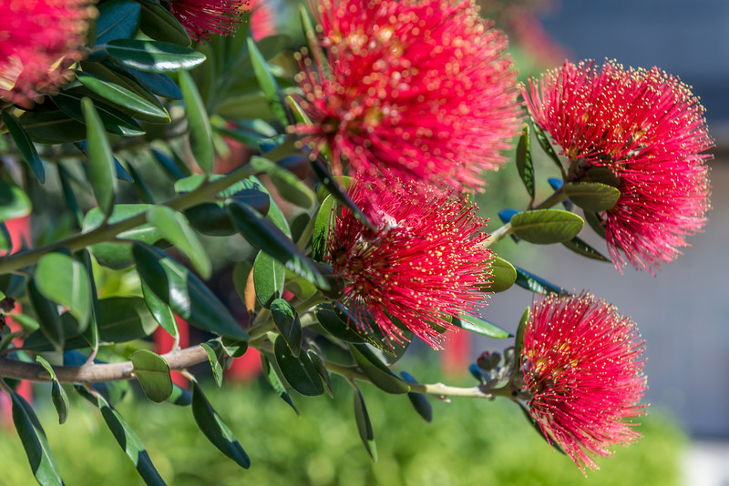 Flowering pōhutukawa (Metrosideros excelsa). Christchurch