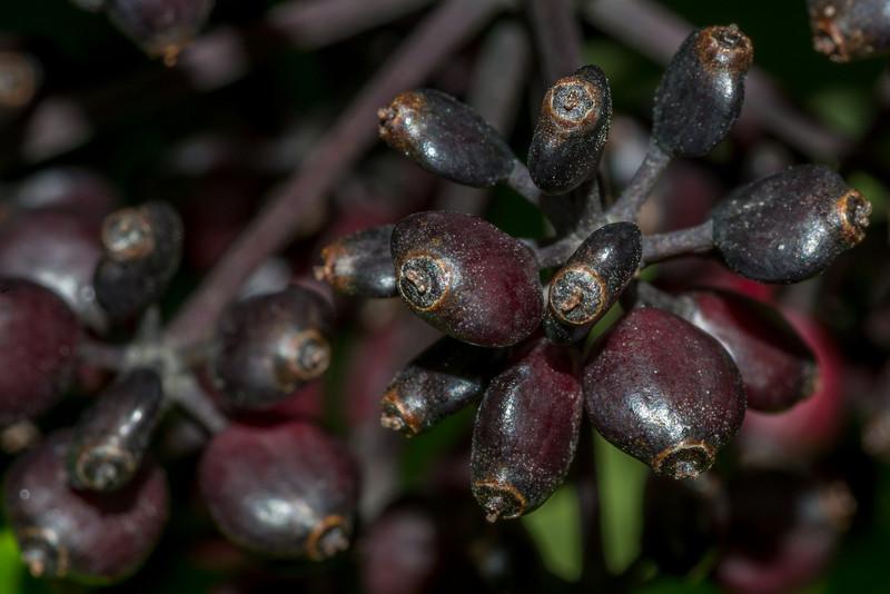 Five-finger / puahou or whauwhaupaku (Pseudopanax arboreus) fruit. Mount Fyffe, Kaikoura