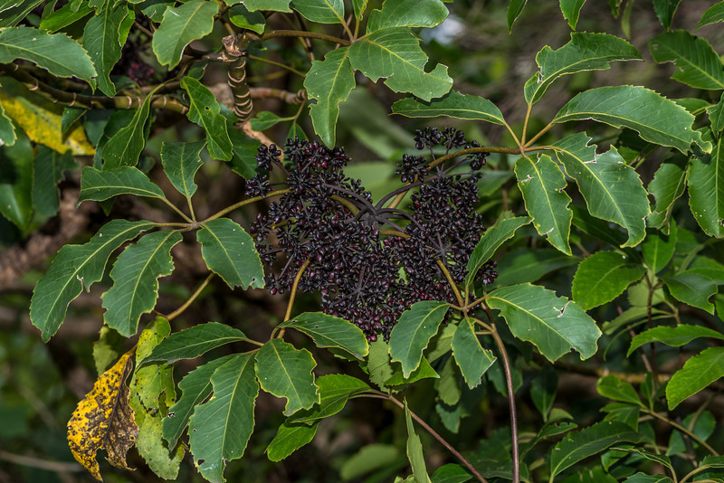 Five-finger / puahou or whauwhaupaku (Pseudopanax arboreus) fruit and leaves. Mount Fyffe, Kaikoura