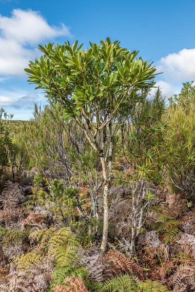 Chatham Island lancewood / hōhō (Pseudopanax chathamicus). Rangaika Scenic Reserve, Chatham Island.