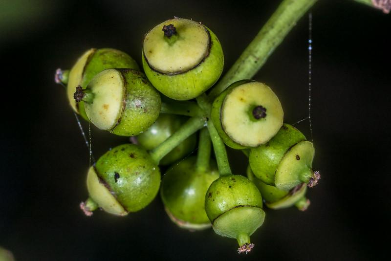 Lancewood / horoeka (Pseudopanax crassifolius) fruit. Lake Wilkie, Catlins