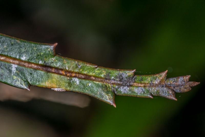 Lancewood / horoeka (Pseudopanax crassifolius). Lake Wilkie, Catlins