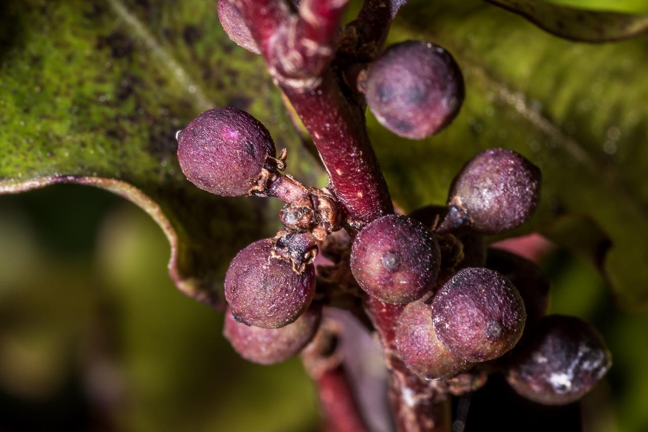 Red māpou / matipou (Myrsine australis). Heyward Point, Dunedin.