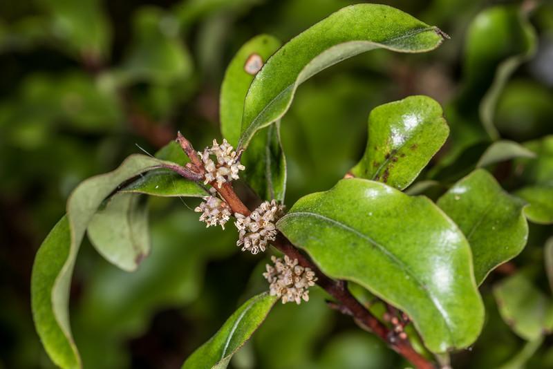 Red māpou / matipou (Myrsine australis). Takaka.