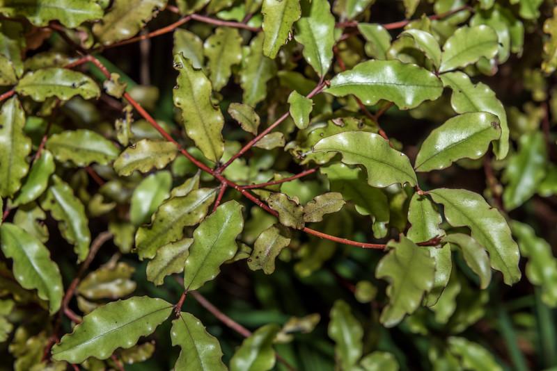 Red māpou / matipou (Myrsine australis). Opoho, Dunedin.