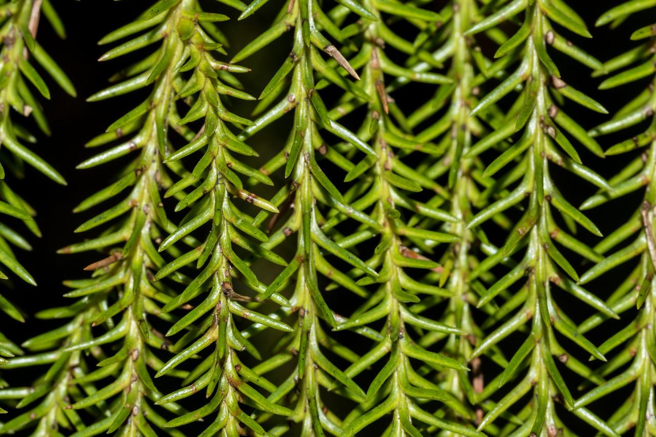 Rimu (Dacrydium cupressinum). Pukatea Walk, Tōtaranui, Abel Tasman National Park.