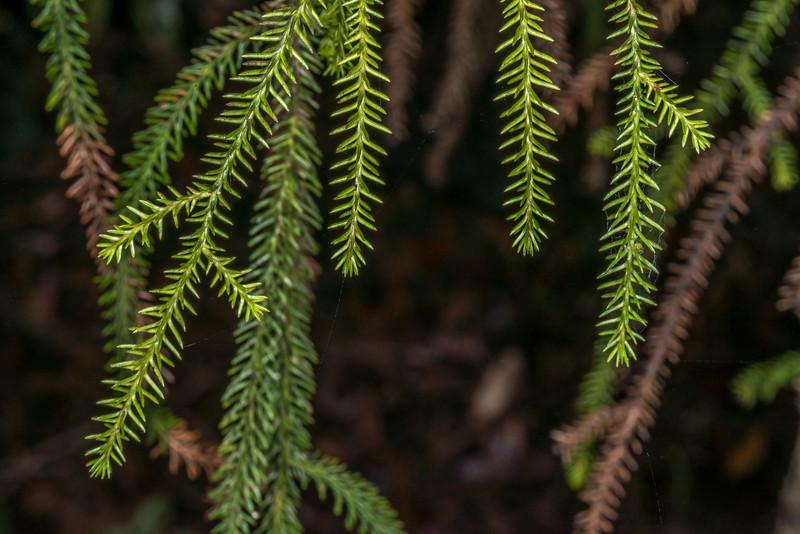 Rimu (Dacrydium cupressinum). Lake Wilkie, Catlins