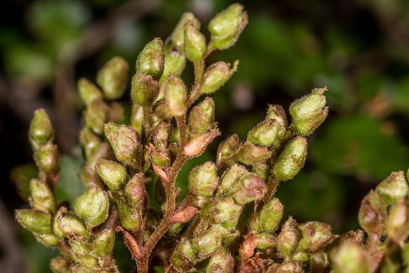 Silver beech / tawhai (Lophozonia menziesii). Iris Burn, Kepler Track, Fiordland National Park.