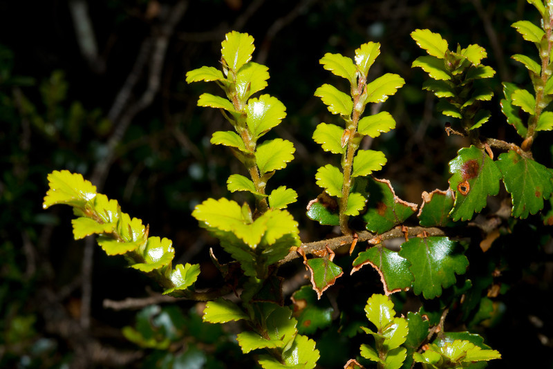 Silver beech / tawhai (Lophozonia menziesii). Haast Pass