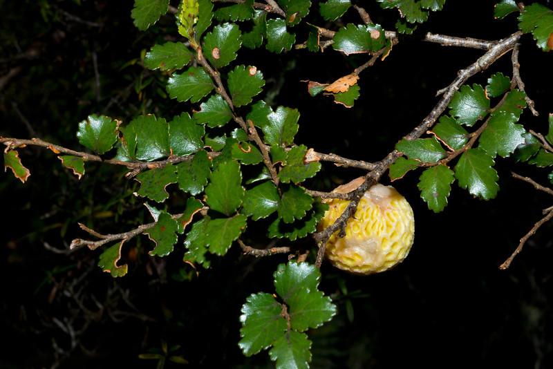 Beech strawberry (Cyttaria gunnii) on silver beech (Lophozonia menziesii). Haast Pass
