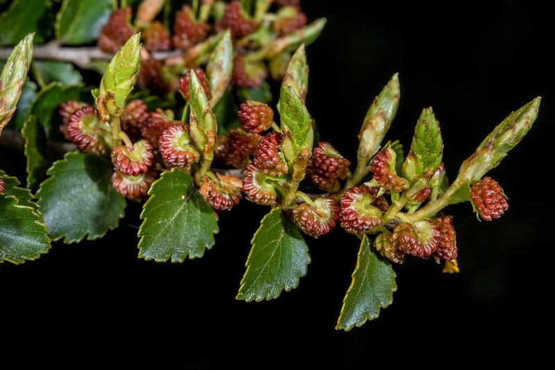 Silver beech (Lophozonia menziesii) male flowers. Pleasant Flat, Haast River, Westland.