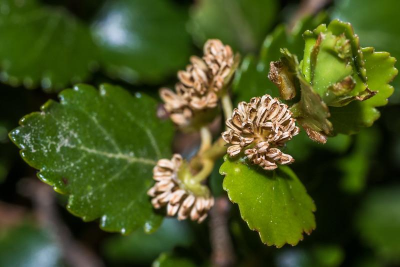 Silver beech / tawhai (Lophozonia menziesii) male flowers. Pleasant Flat, Haast River.