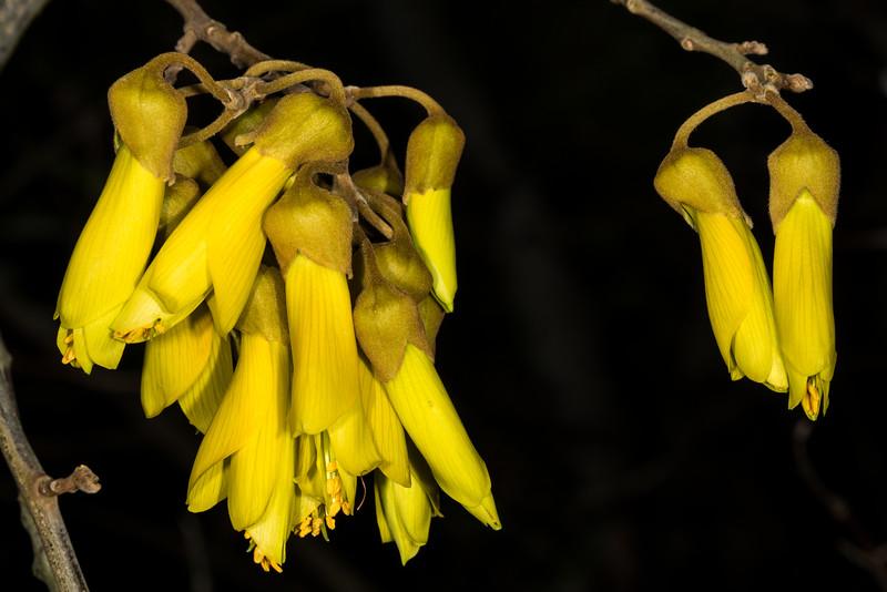 Small-leaved kōwhai (Sophora microphylla). Opoho, Dunedin.