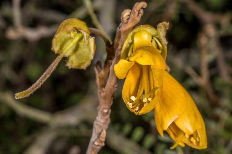 Small-leaved kōwhai (Sophora microphylla). Travis Wetland, Christchurch.