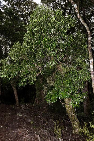 Tāwari (Ixerba brexioides). Onepoto to Panekiri Bluff, Lake Waikaremoana Track, Te Urewera National Park.