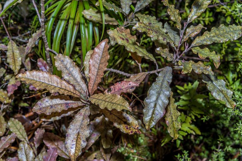 Tāwheowheo (Quintinia serrata). Castle Rocks, Abel Tasman National Park.