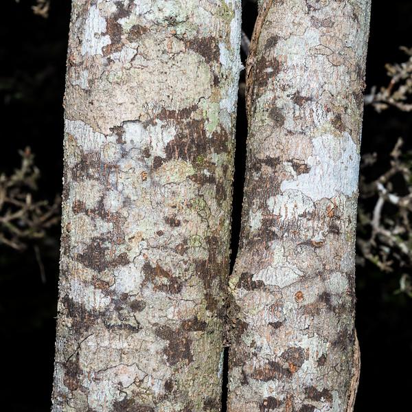 Toro (Myrsine salicina). Abel Tasman Inland Track above Holyoake Clearing.