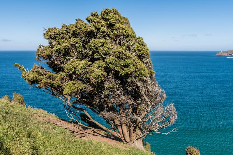 Tōtara (Podocarpus totara). Heyward Point, Dunedin.