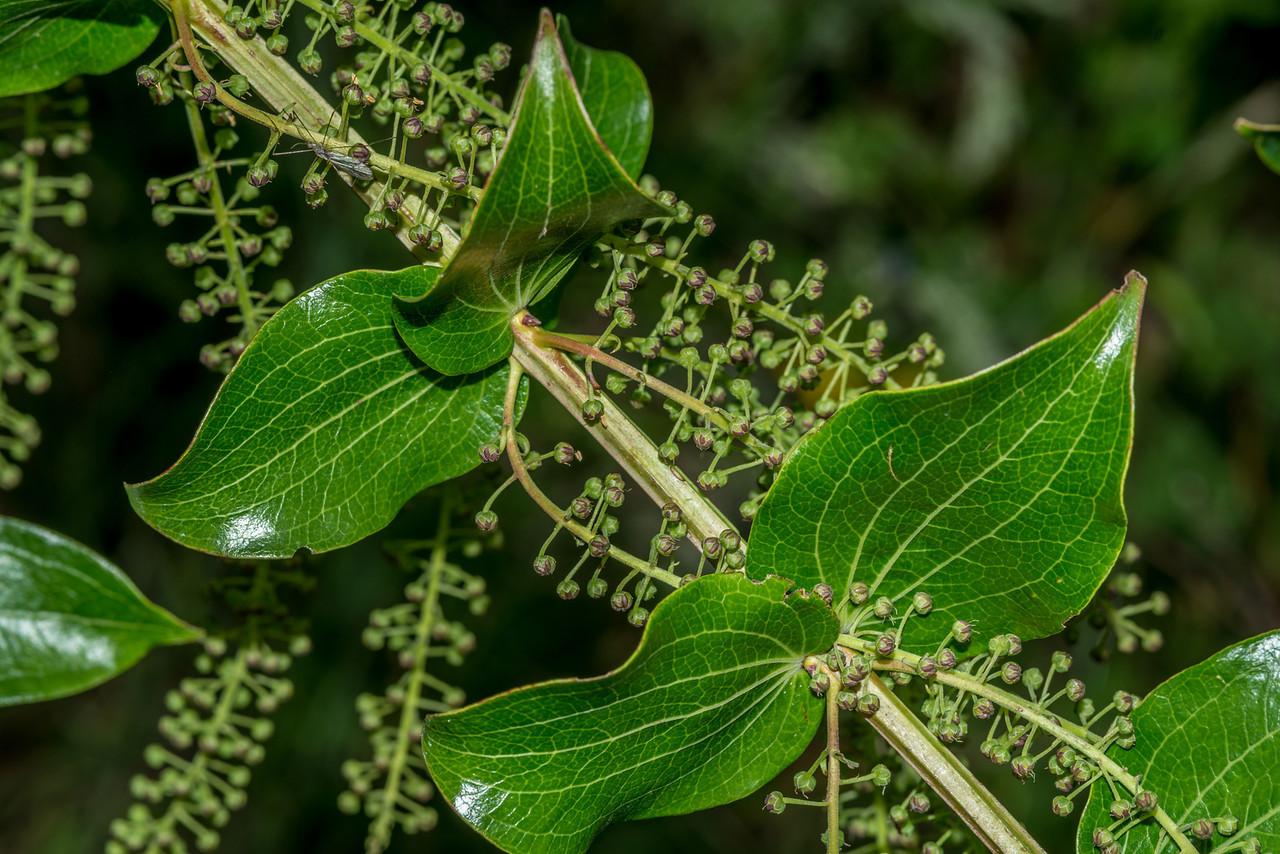 Tutu or tree tutu (Coriaria arborea). Mount Fyffe, Kaikoura