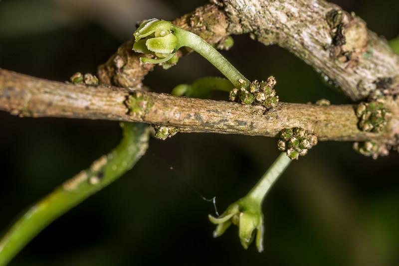 Māhoe (Melicytus ramiflorus) flowers. Tomahawk Track, Dunedin.