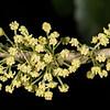 Whiteywood / māhoe or hinahina (Melicytus ramiflorus) flowers. Parapara Peak Track car park, Golden Bay.