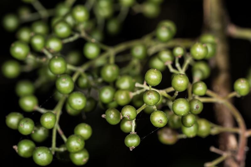 Wineberry / makomako (Aristotelia serrata). Parapara Peak Track car park, Golden Bay.