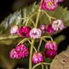 Wineberry / makomako (Aristotelia serrata). Kepler Track to Luxmore Hut below bushline, Fiordland National Park.