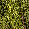 Yellow pine (Halocarpus biformis). Upper Hauroko Burn, Fiordland National Park.