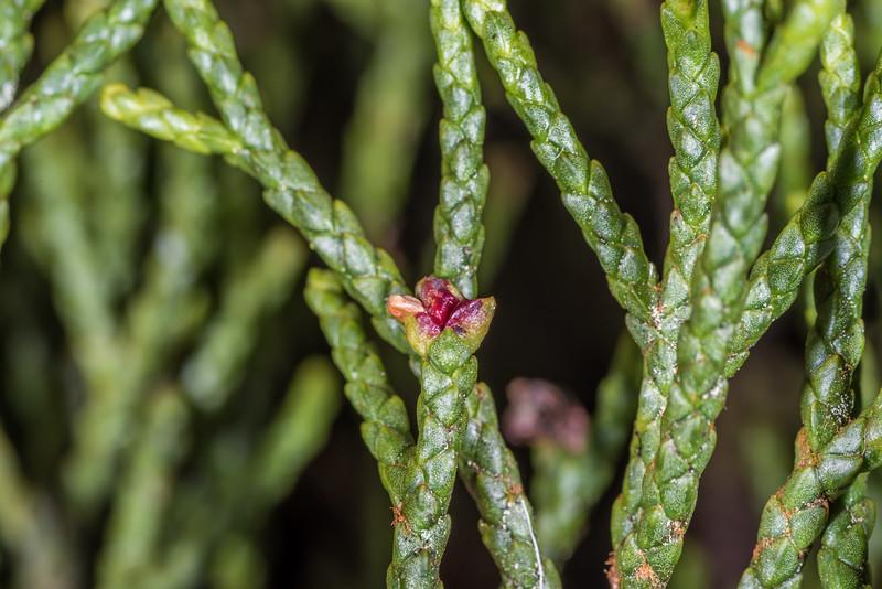 Yellow pine or pink pine (Halocarpus biformis). Manuoha, Te Urewera National Park.