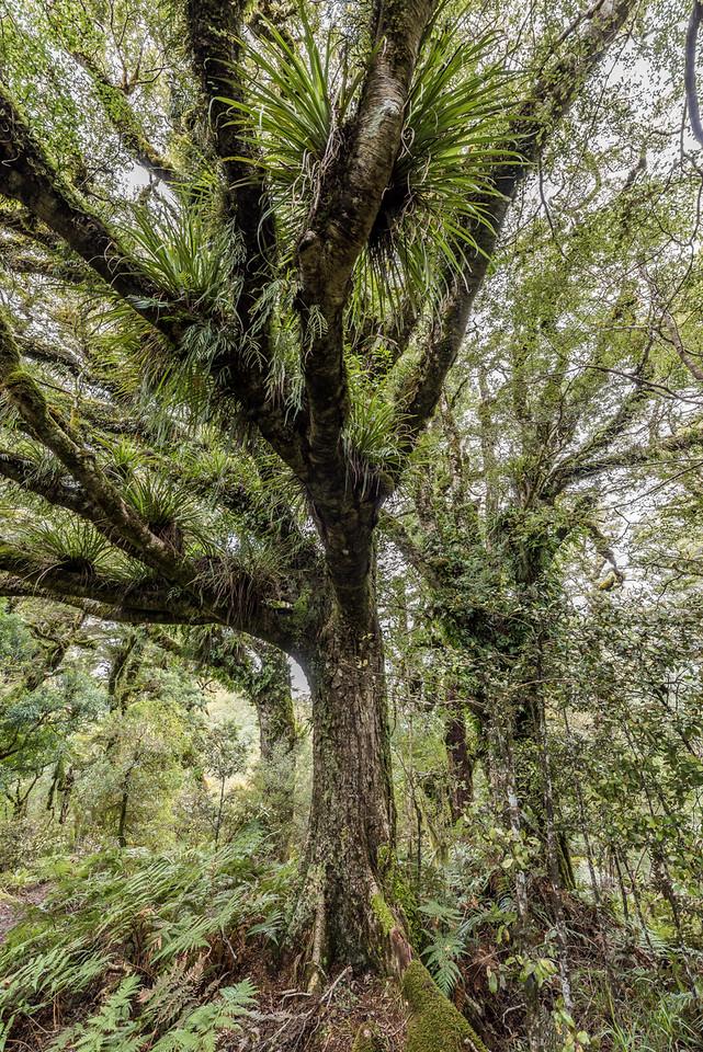 Forest on the Panekiri Range, Lake Waikaremoana Track. Astelia microsperma is the epiphyte growing on the tree branches.