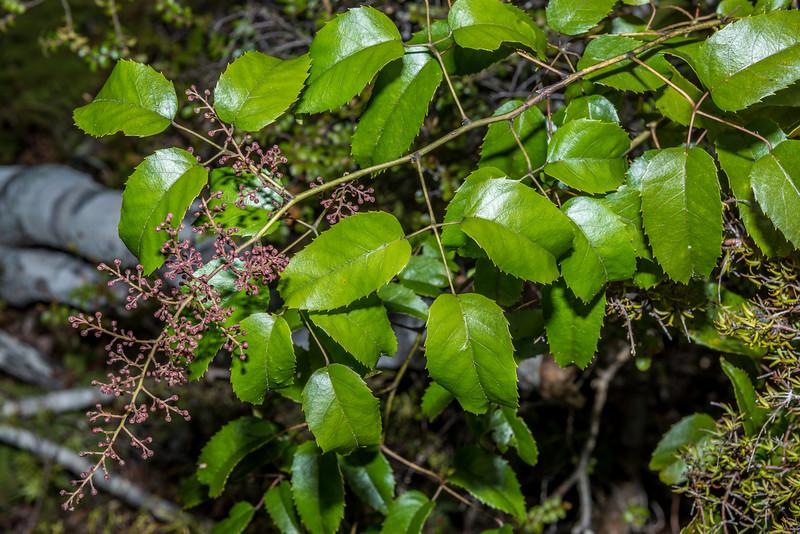 Bush lawyer / tātarāmoa (Rubus cissoides). Abel Tasman Inland Track below Holyoake Clearing.