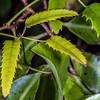 Bush lawyer / tātarāmoa (Rubus cissoides). Heyward Point Reserve, Dunedin.