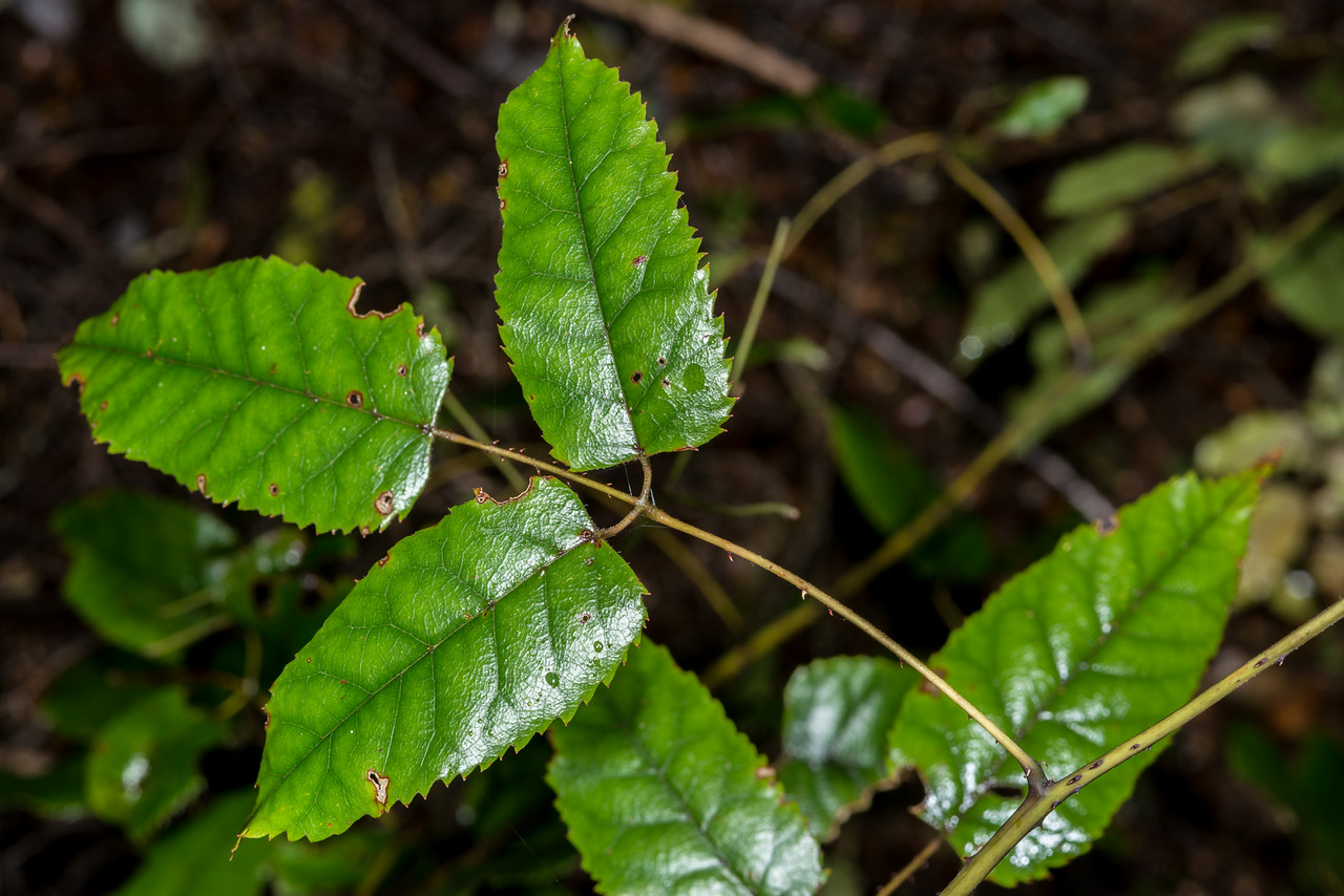 Bush lawyer / tātarāmoa (Rubus cissoides). Old Coach Road, Tahakopa Bay, Catlins