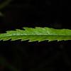 Bush lawyer / tātarāmoa (Rubus cissoides). Moturau Hut to Rainbow Reach, Kepler Track, Fiordland National Park.