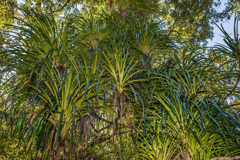 Kiekie (Freycinetia banksii). Awapoto Hut to Pigeon Saddle, Abel Tasman National Park.