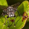 Flesh fly on large-leaved muehlenbeckia / pōhuehue (Muehlenbeckia australis) leaf. Tomahawk Track, Dunedin.