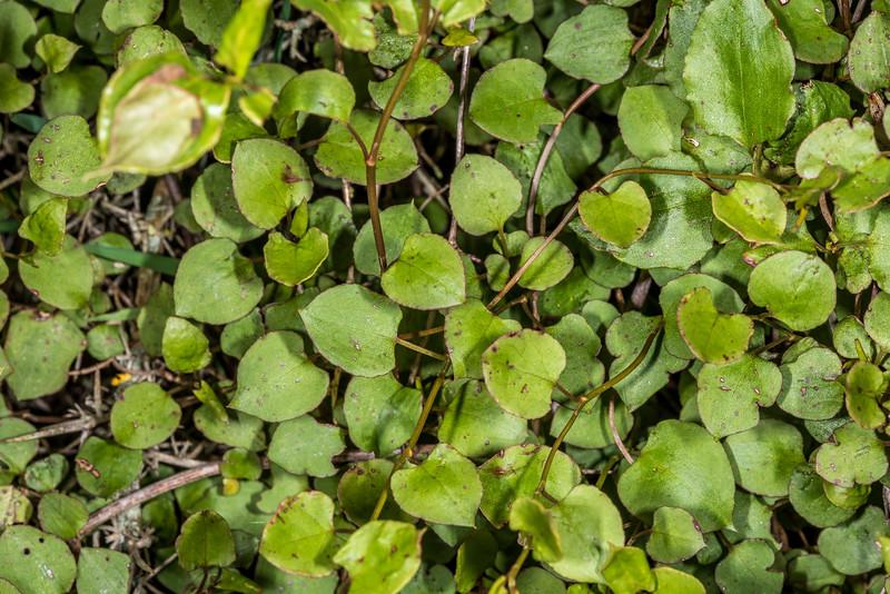 Large-leaved muehlenbeckia / pōhuehue (Muehlenbeckia australis). Tomahawk Track, Dunedin.
