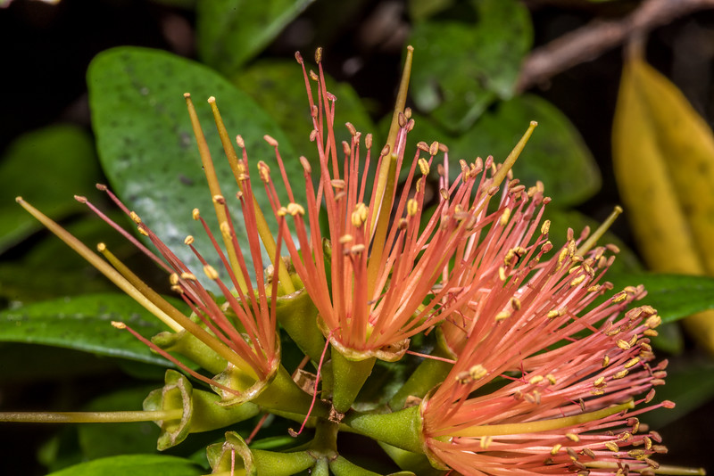 Scarlet rātā vine / akatawhiwhi (Metrosideros fulgens) . Heaphy Track between Brown Hut and Perry Saddle, Kahurangi National Park.