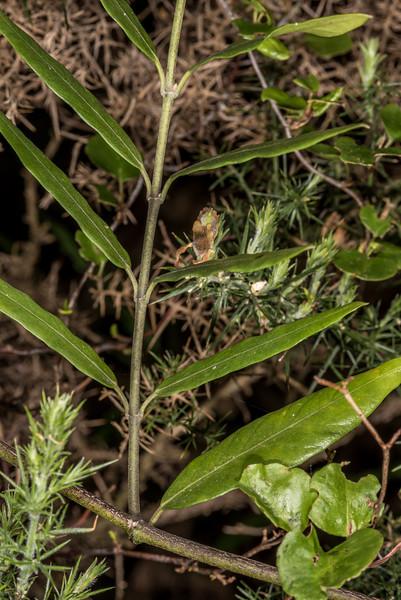 New Zealand jasmine / kaihua or akakiore (Parsonsia heterophylla). Tomahawk Track, Dunedin.