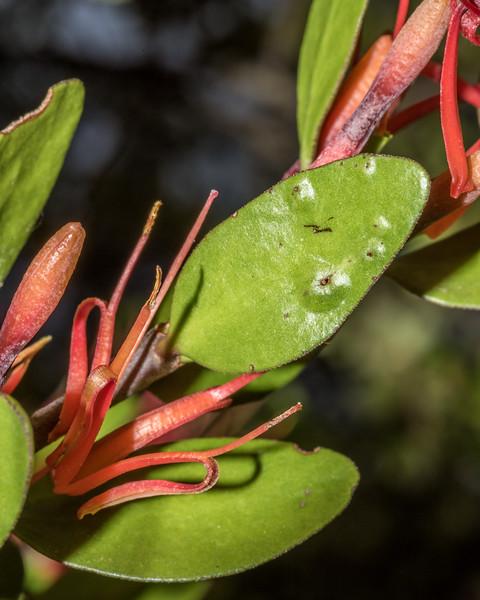 Red mistletoe / pikirangi (Peraxilla tetrapetala). Sawyer Burn Track, Lake Hawea.