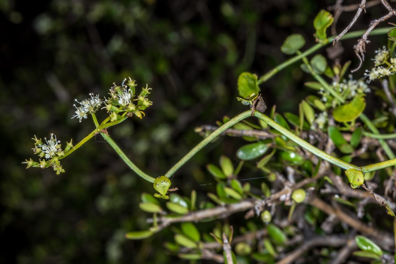 Scandia (Scandia geniculata). Heyward Point Reserve, Dunedin.
