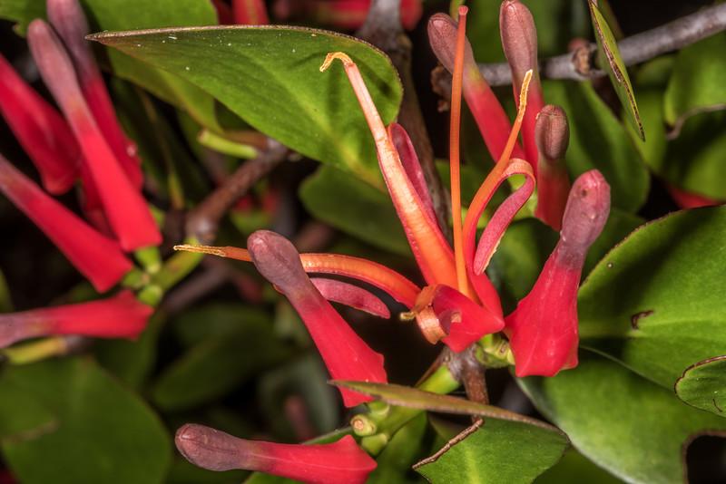Scarlet mistletoe / korukoru (Peraxilla colensoi). Deer Flat, Eglinton Valley.