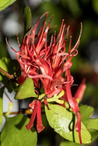 Scarlet mistletoe / korukoru (Peraxilla colensoi). South Coast Track between Prices Harbour and Waitutu Hut, Fiordland National Park.