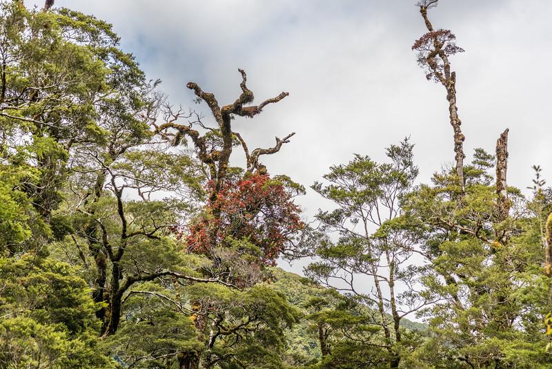 Scarlet mistletoe / korukoru (Peraxilla colensoi). Lake Poteriteri to Lake Mouat, Fiordland National Park.