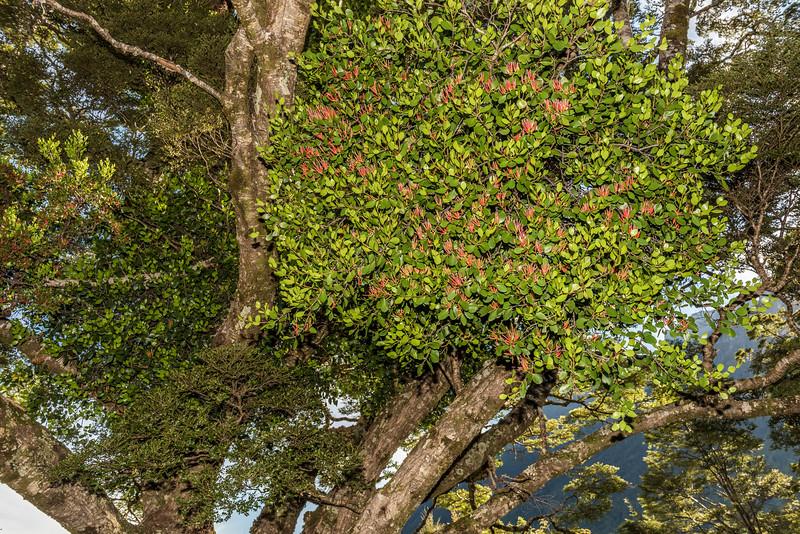 Scarlet mistletoe / korukoru (Peraxilla colensoi) on silver beech (Lophozonia menziesii). Deer Flat, Eglinton Valley.