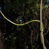 Supplejack / kareao (Ripogonum scandens). Awapoto Hut to Pigeon Saddle, Abel Tasman National Park.