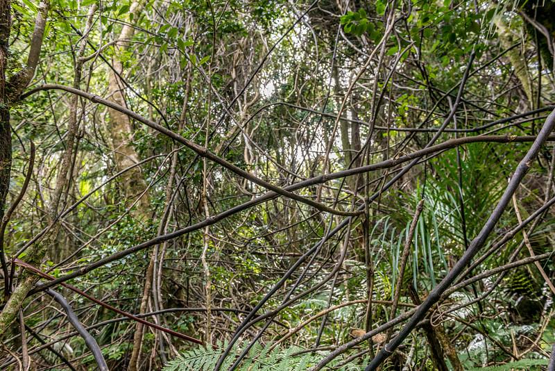 Supplejack / kareao (Ripogonum scandens) tangle. Pigeon Saddle, Abel Tasman National Park.
