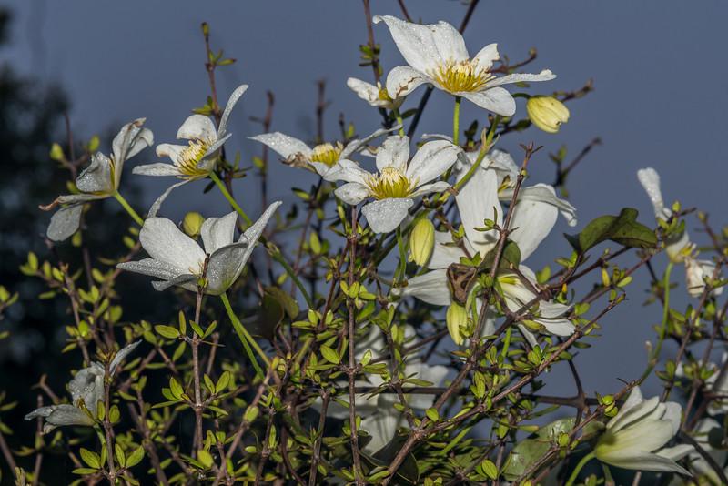 New Zealand clematis or white clematis / Puawānanga (Clematis paniculata), a native vine, on Mingimingi (Coprosma propinqua). Yankee River, Stewart Island