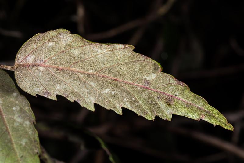 White-leaved lawyer / tātarāmoa (Rubus schmidelioides). Lake Kiriopukae, Te Urewera National Park.